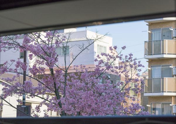 家のベランダから見える桜の木